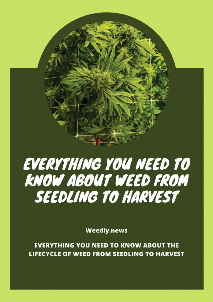 Weed from Seedling to Harvest